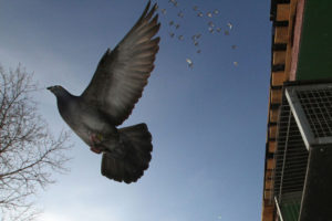 MOSCOW - JANUARY 2012.  Doves 1