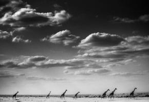 Caravan, Giraffes, Kenya, 2013 © Laurent Baheux