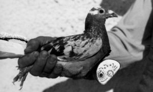 Homing pigeon with camera, late 1930s © Estate Michel/Swiss Camera Museum, Vevey