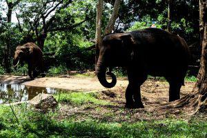 Bandung, Indonesia - January 2017, a couple of elephant in Bandung zoo