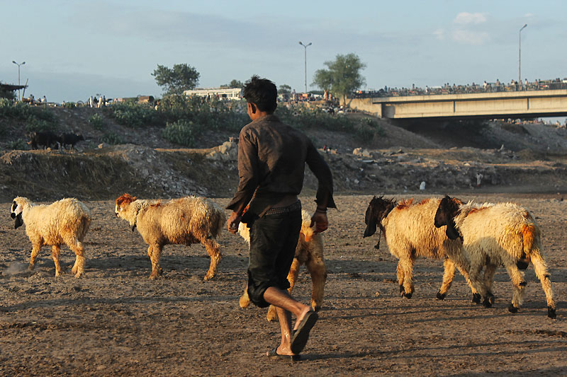 Cleaning Livestock before selling. Pakistan