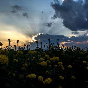 NADIA, WEST BENGAL, INDIA- November 2015. Dusk in Marigold farm.