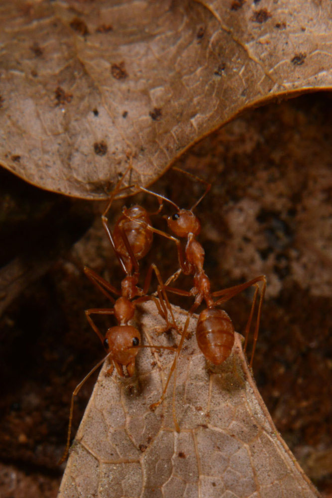 weaver ants  a closer look  photo essay by suraj bhakat