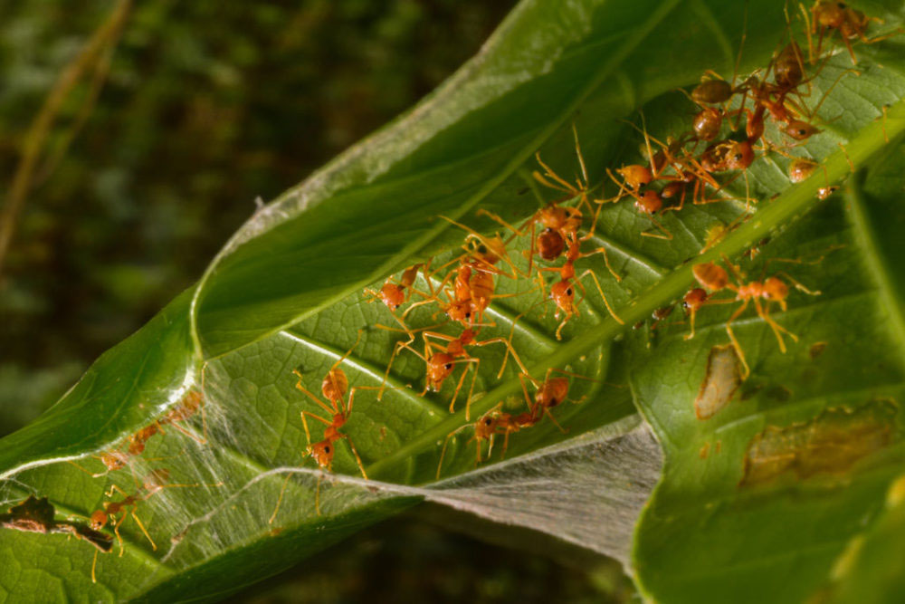 KOLKATA, INDIA -MAY 2016 Weaver ants, a section of the society works all day to build homes that are made by stitching leaves together in an intricate manner so as to protect the eggs and the ants.