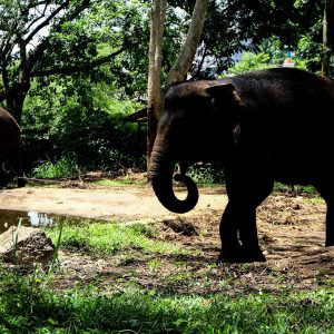 Bandung, Indonesia - January 2017, a couple of elephant in Bandung zoo