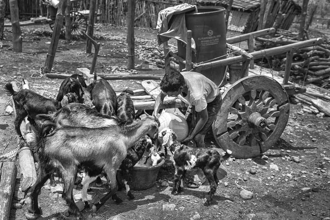 A villager is feeding his goats.