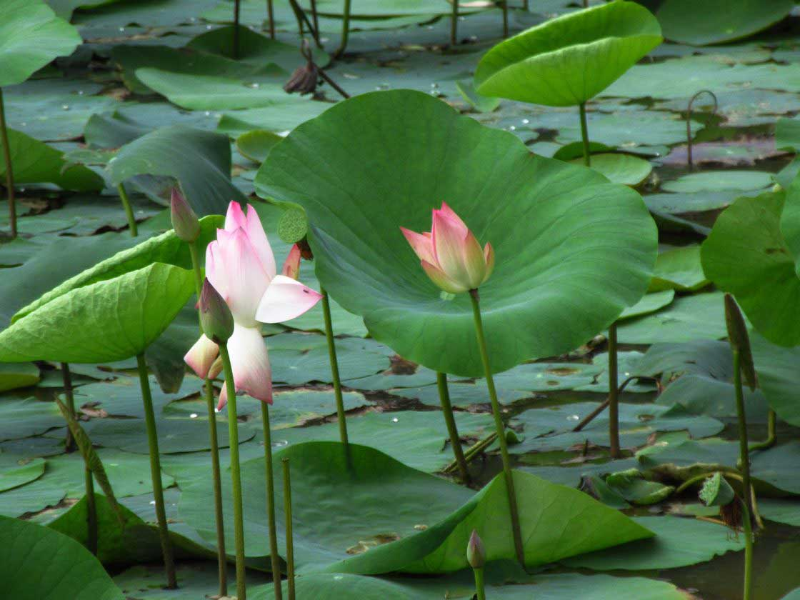 Lotus flowers that sprouted at the bottom of this muddy lake, Uttara Kannada, India - June 2018