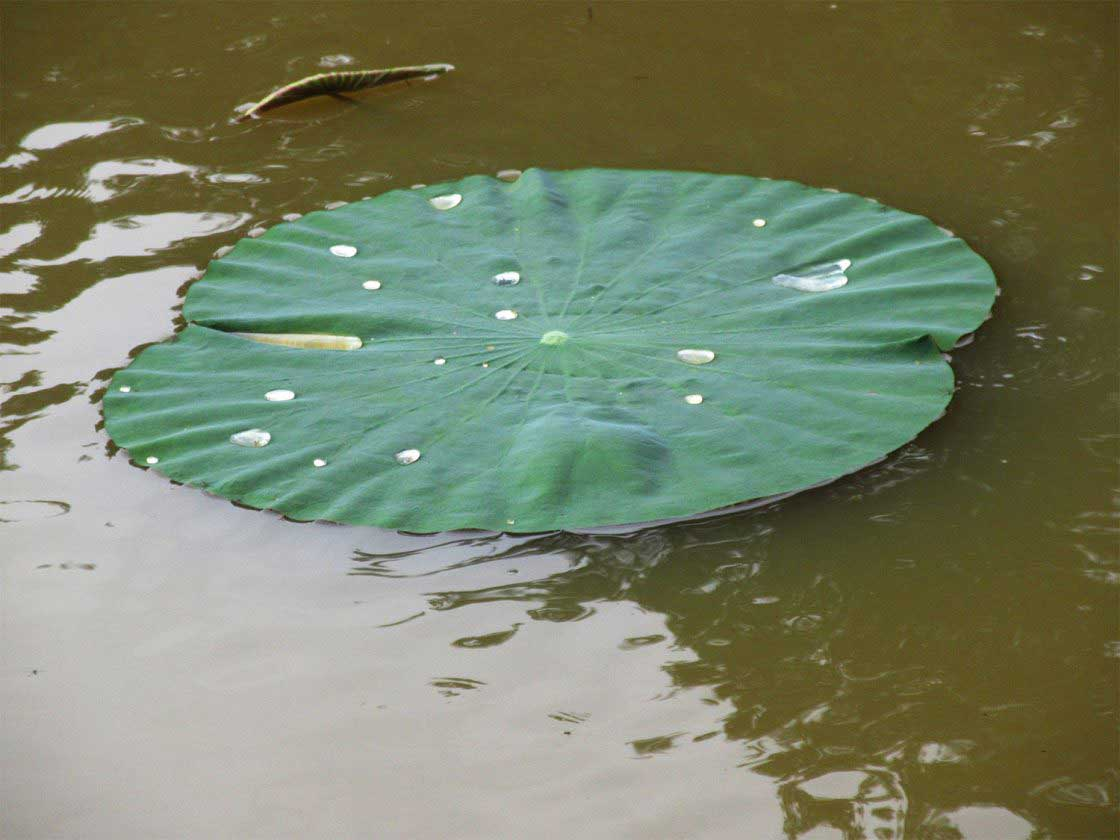 A Lotus leaf, Uttara Kannada, India