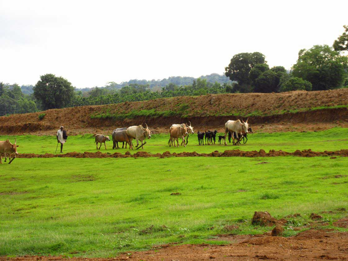 The farmer takes his herd home just before the approaching darkness, Uttara Kannada, India